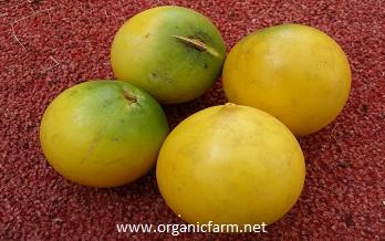 Abiu, Pouteria caimito, www.organicfarm.net;