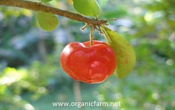 Acerola; Malpighia glabra; www.organicfarm.net;